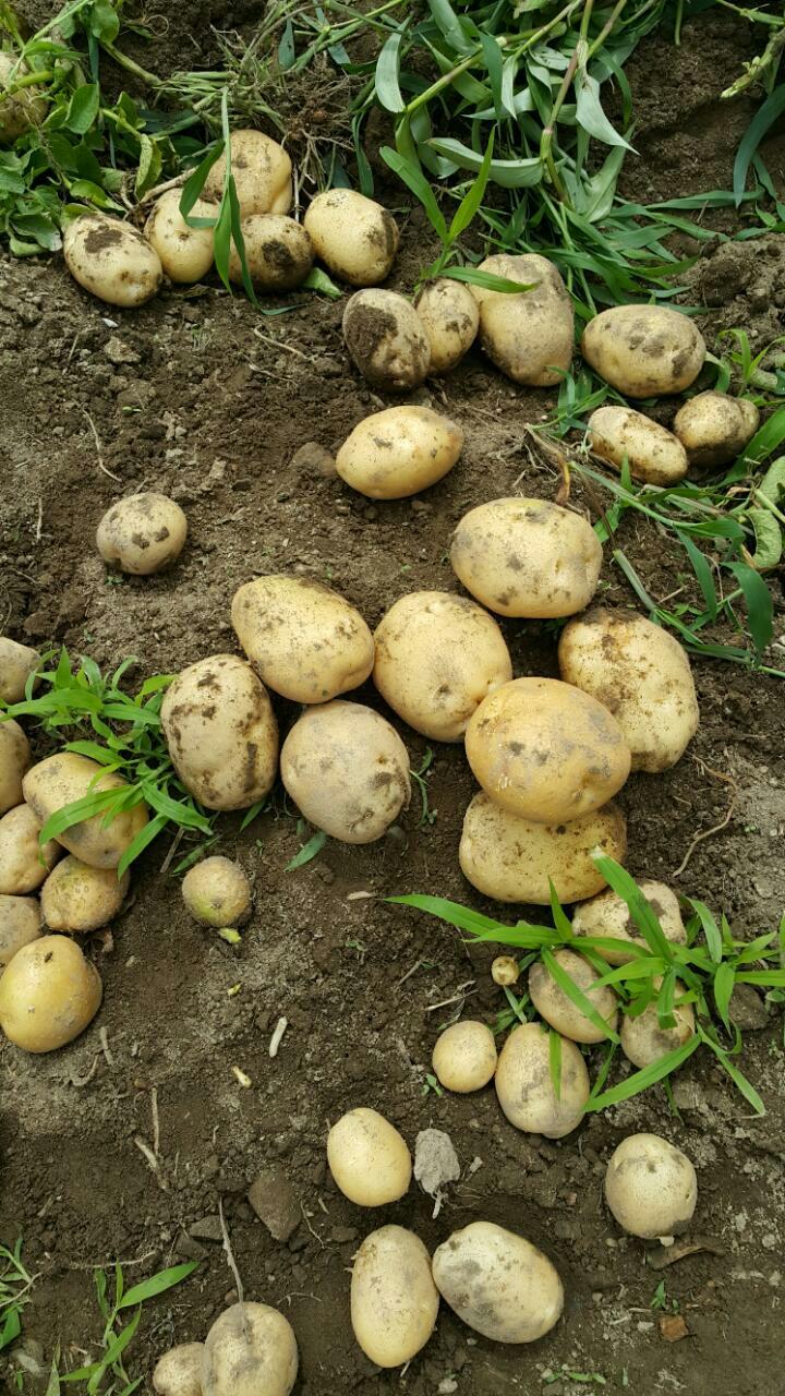 감자 비트 팝니다.감자 10kg 15000원.비트 10kg 30000원