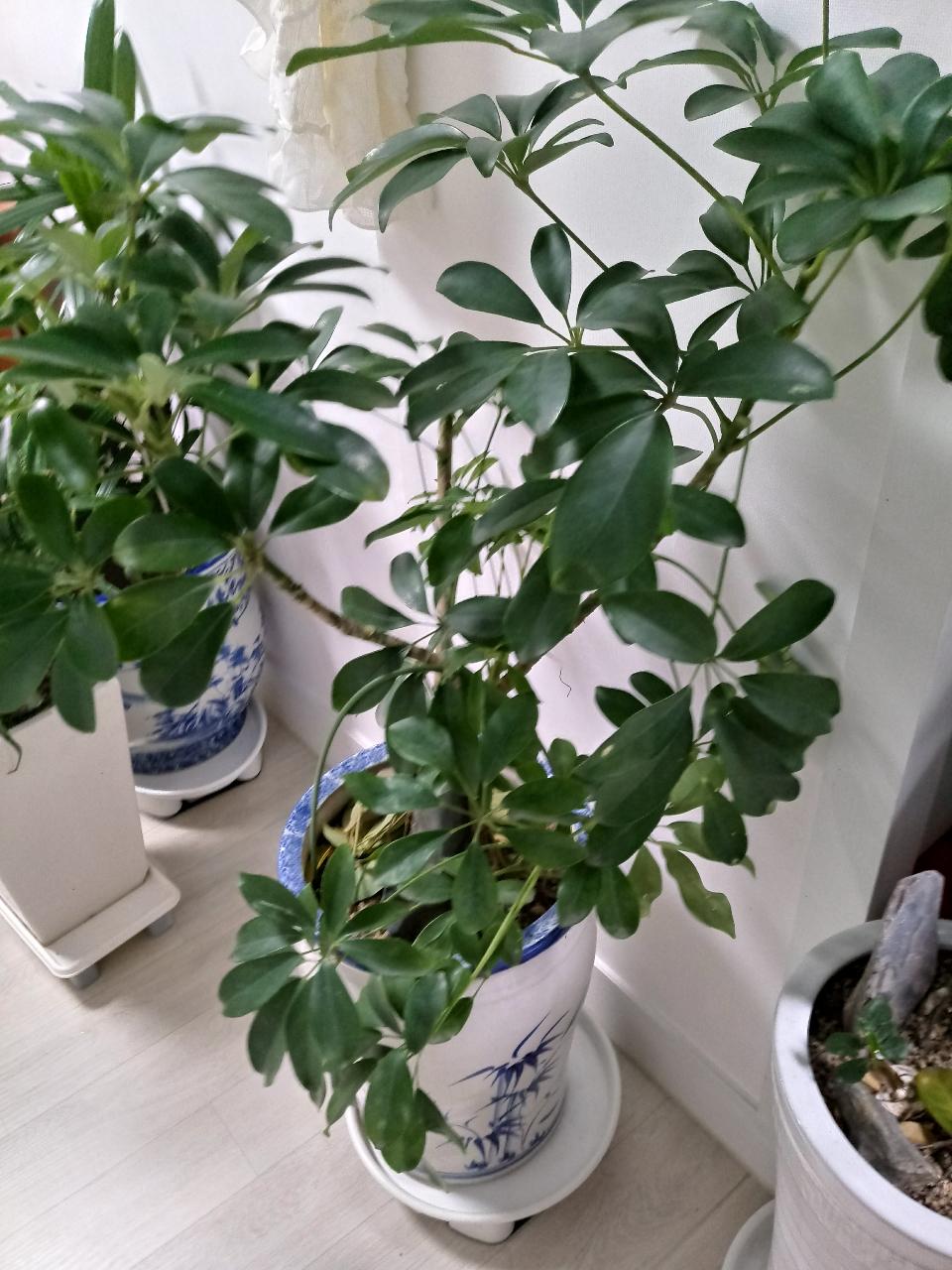 홍콩야자나무