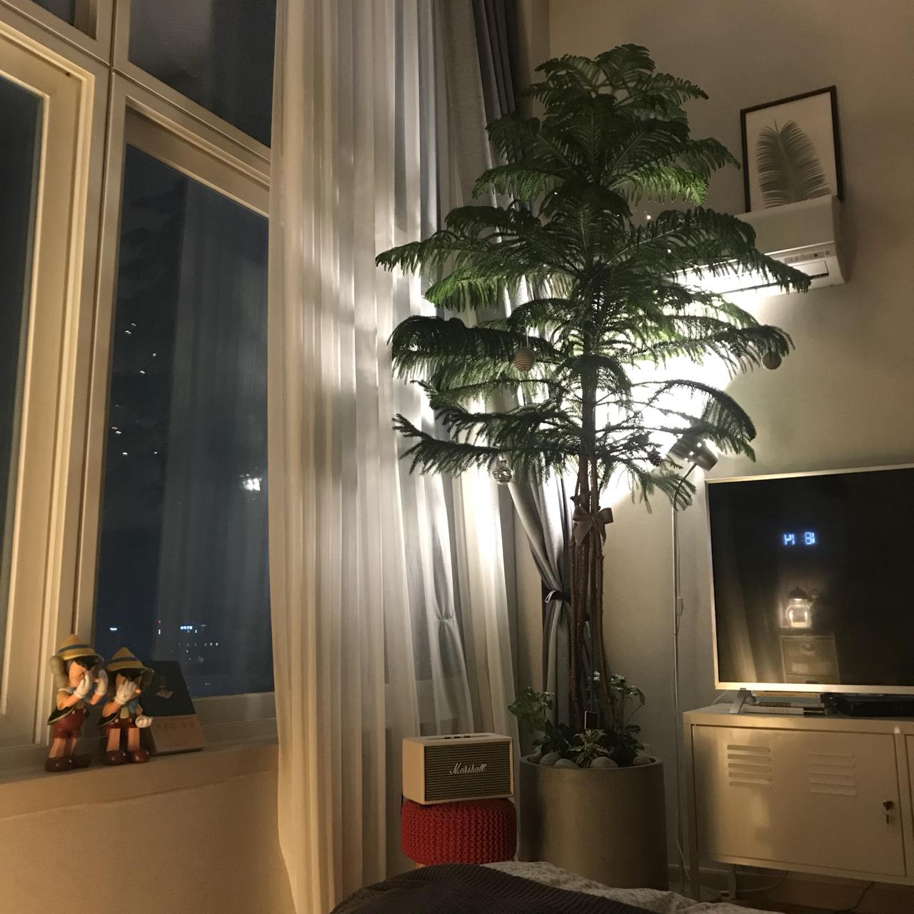 아레우카리아 2m 넘는 대형 식물