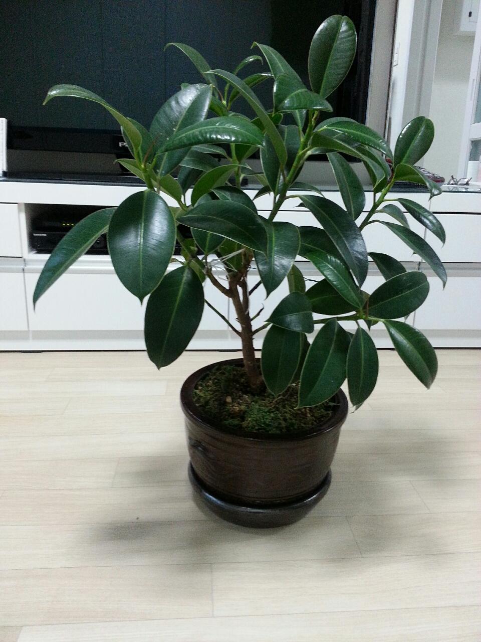 고무나무  (인테리어.  공기정화)