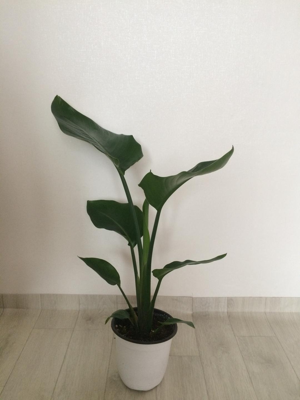 극락조 공기정화식물