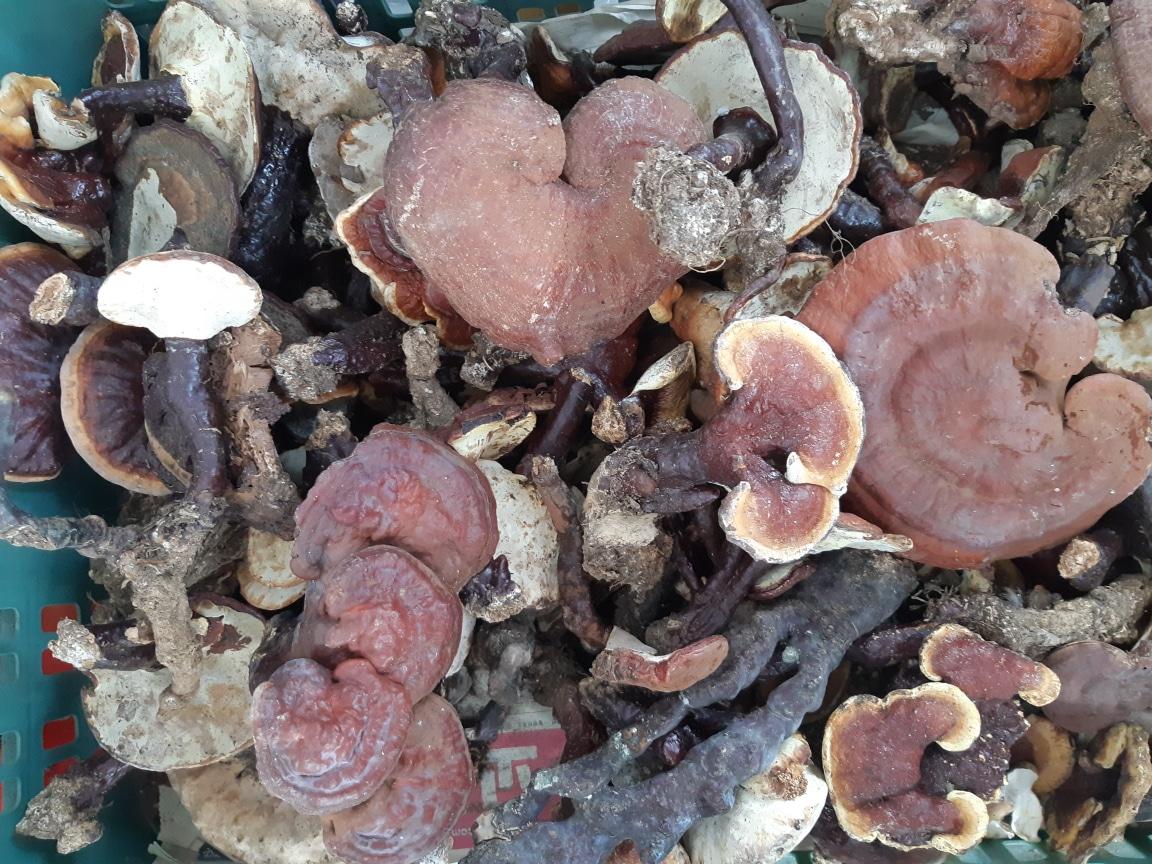자연산 야생 영지버섯