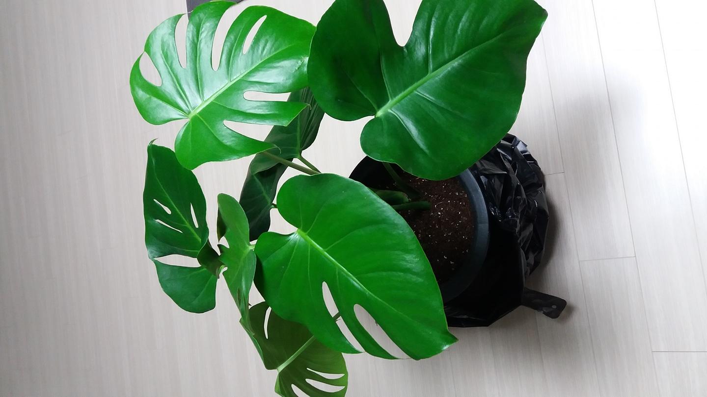 몬스테라(식물)