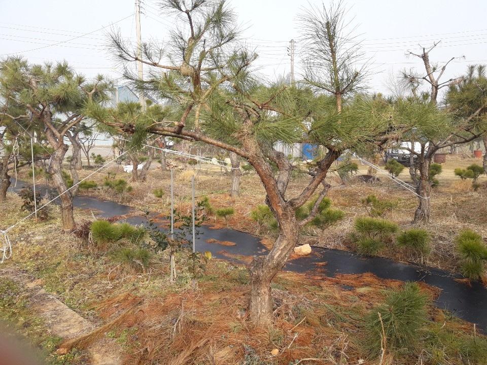 조경용 소나무