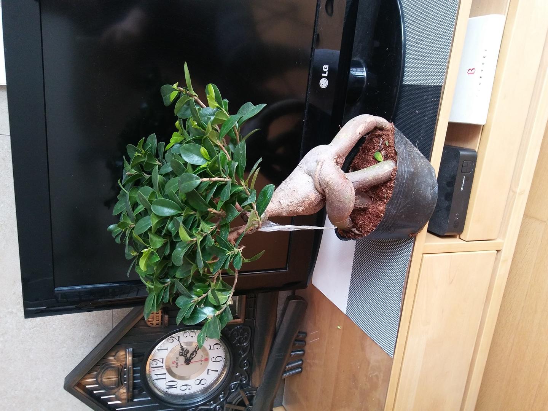 인삼벤자민 식물 꽃 나무 분재