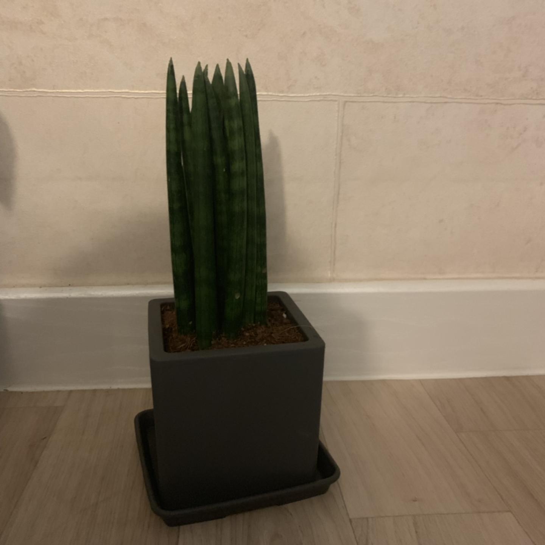 공기정화 식물 스투키