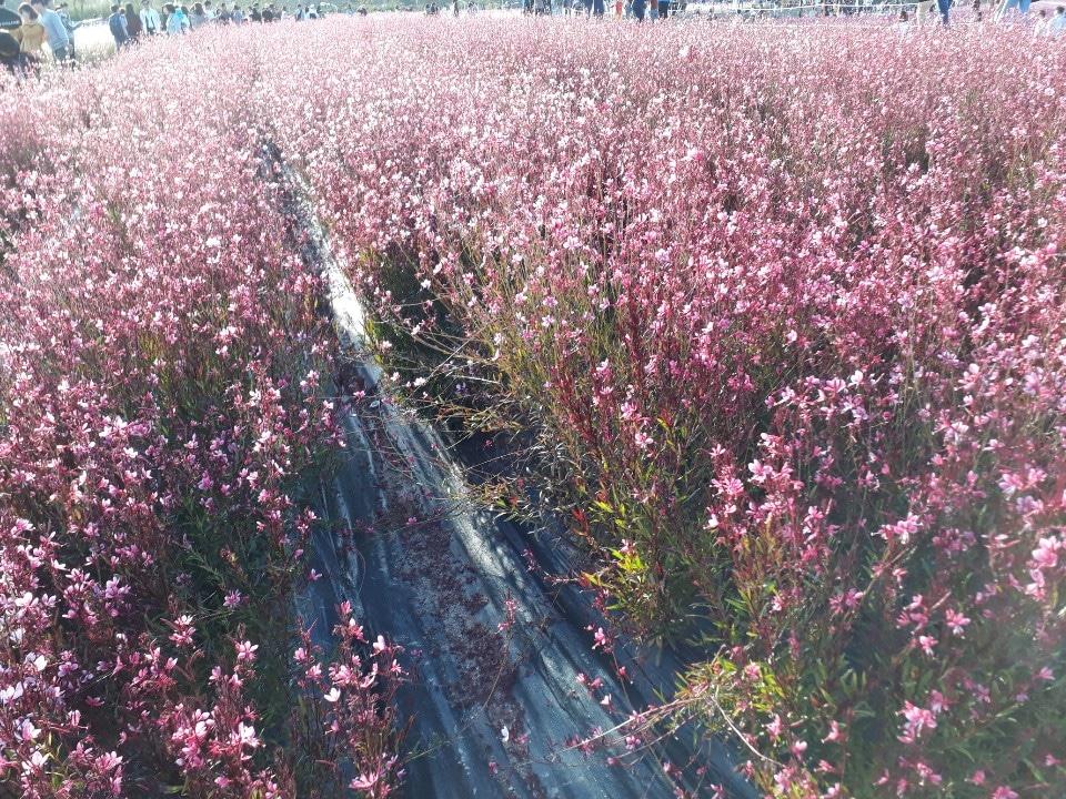 가우라꽃.바늘꽃.포트분양.조경나무.다년생.마당정원꽃