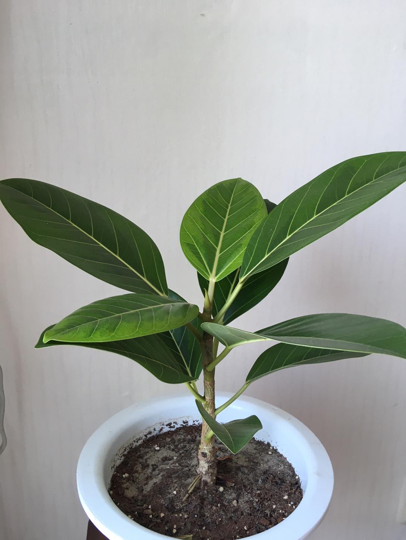 식물 화분 (고무나무, 실버레이디)