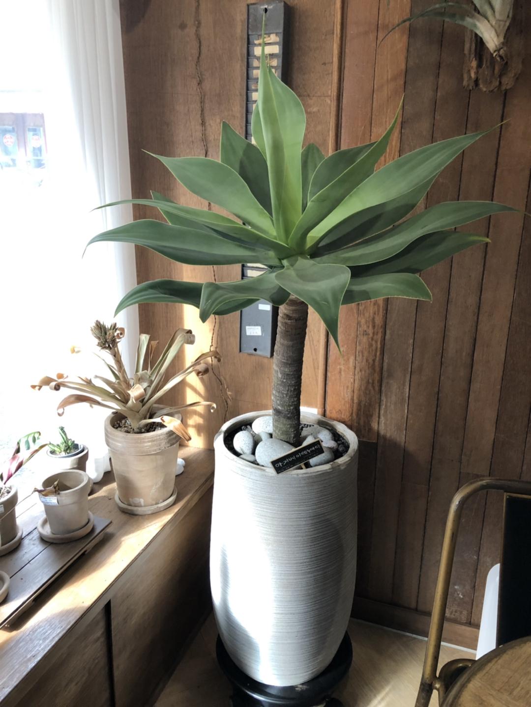 대형식물 아가베식물 아가베아테누아타