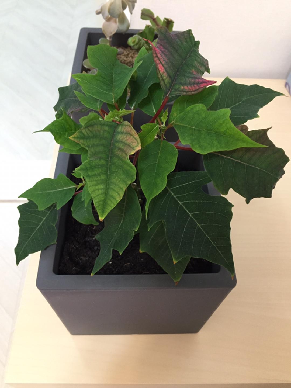 화분 포인세티아나무