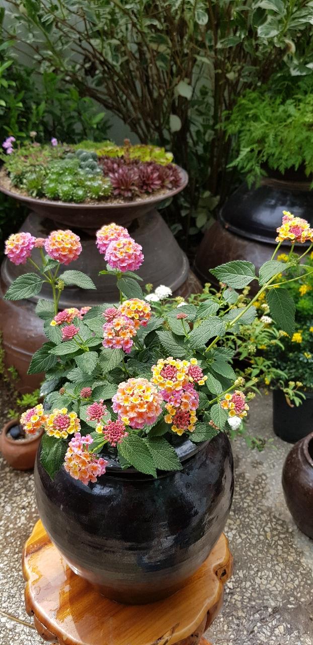 칠변화(란타나)  한가지에 7가지 꽃이 4 계절  피고지고   향이 ~ 꽃이지면  동그란 열매로  번식