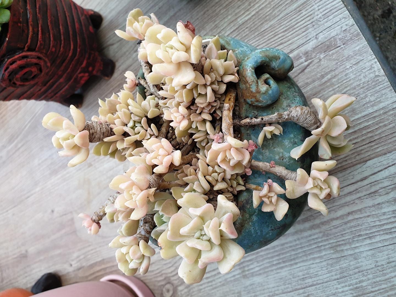 특엽옥접다육식물