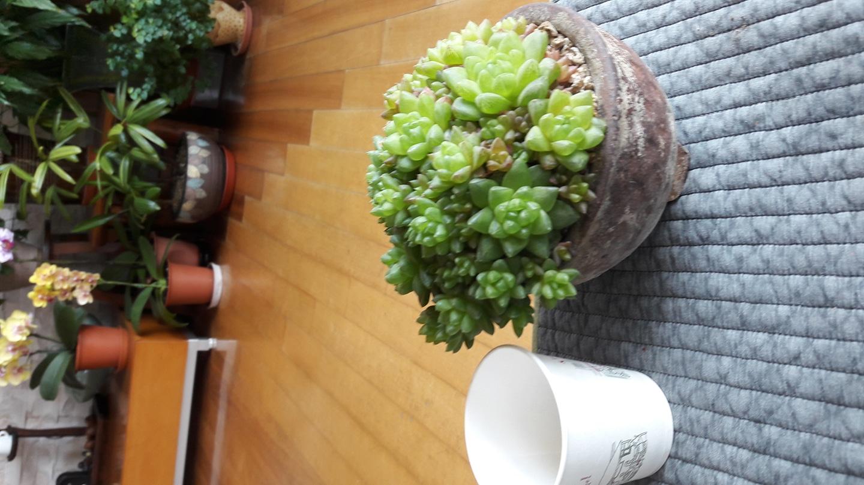 다육 식물 옵투샤