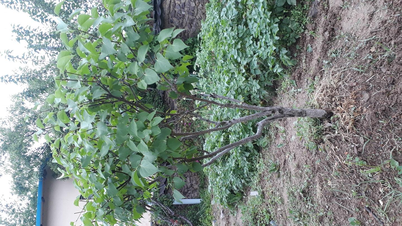 라일락 나무(수령 최소 6년)