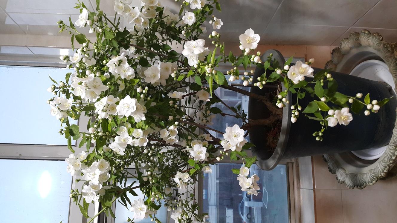 야생꽃월동됨 향기가많이남니다 높이1미터