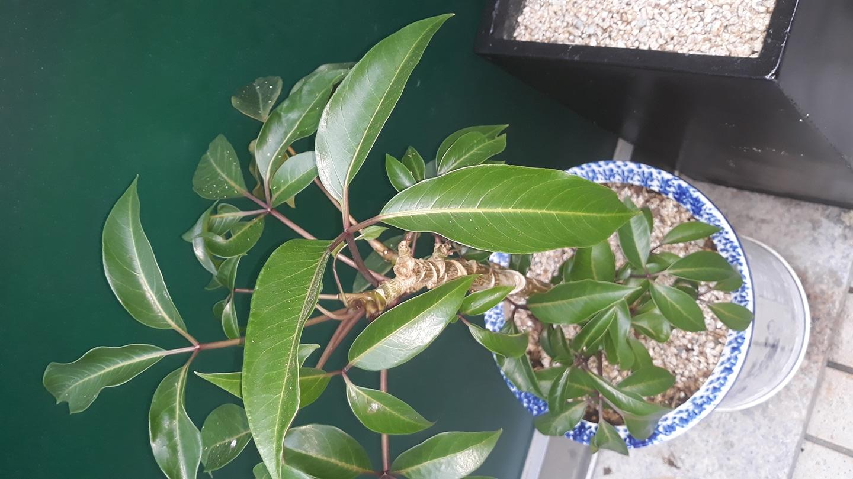 벤자민  고무나무
