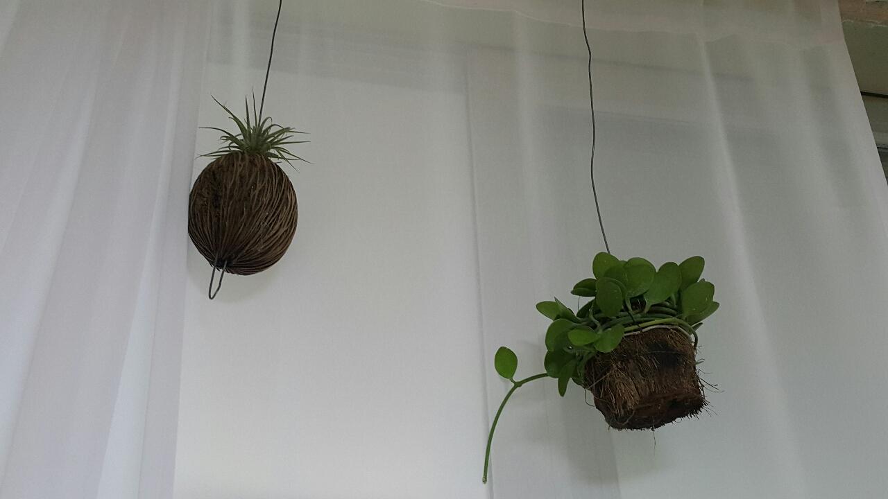 궁중식물 (틸란드시아 )