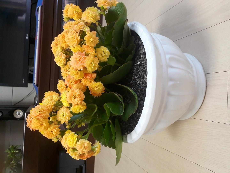 카랑코에꽃화분