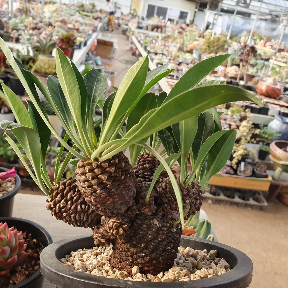 아프리카식물.철갑환대품