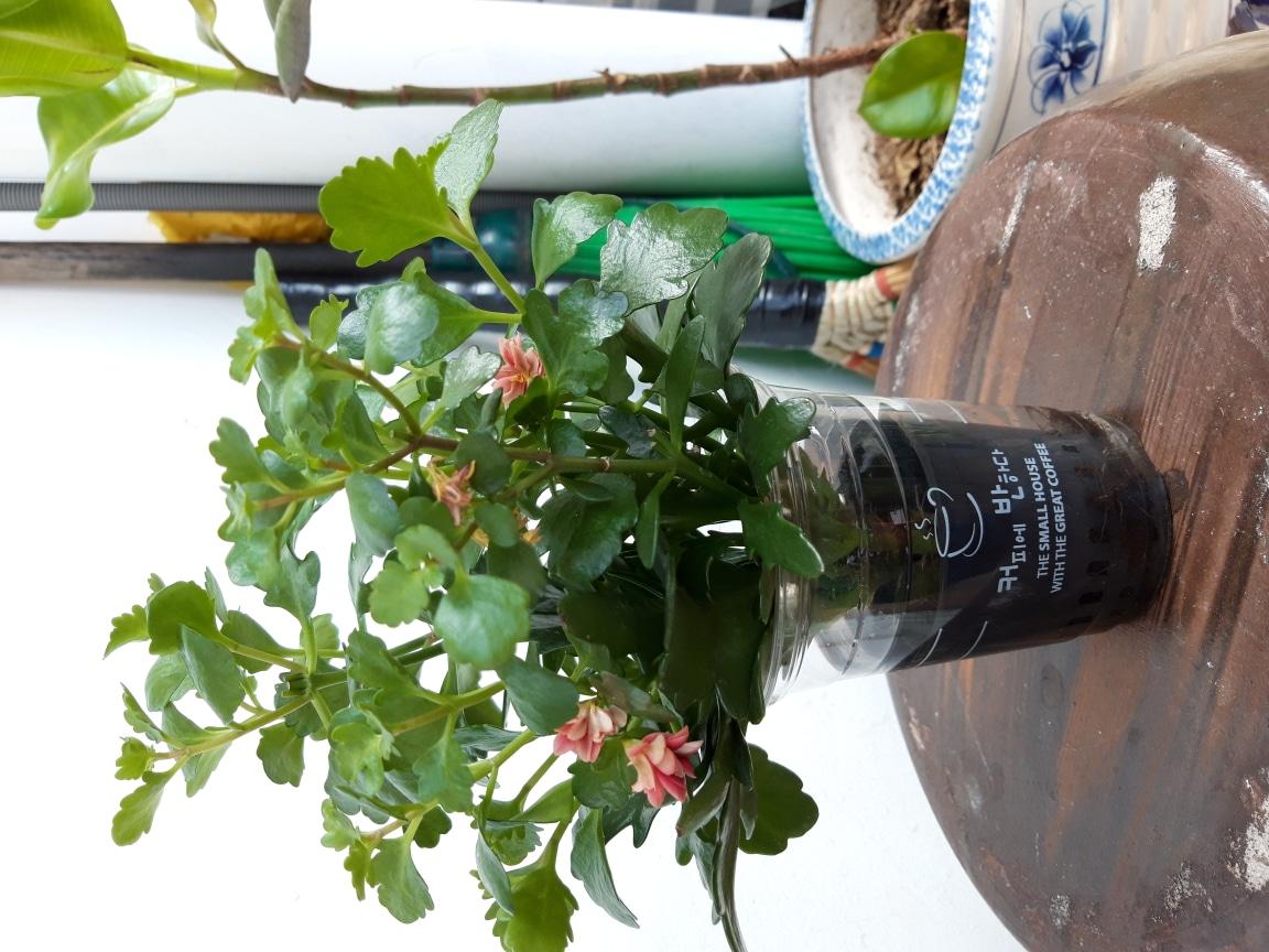 가랑코에  수경식물