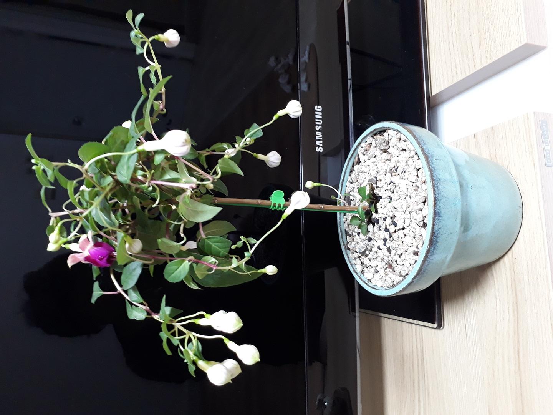 후쿠샤꽃 화분