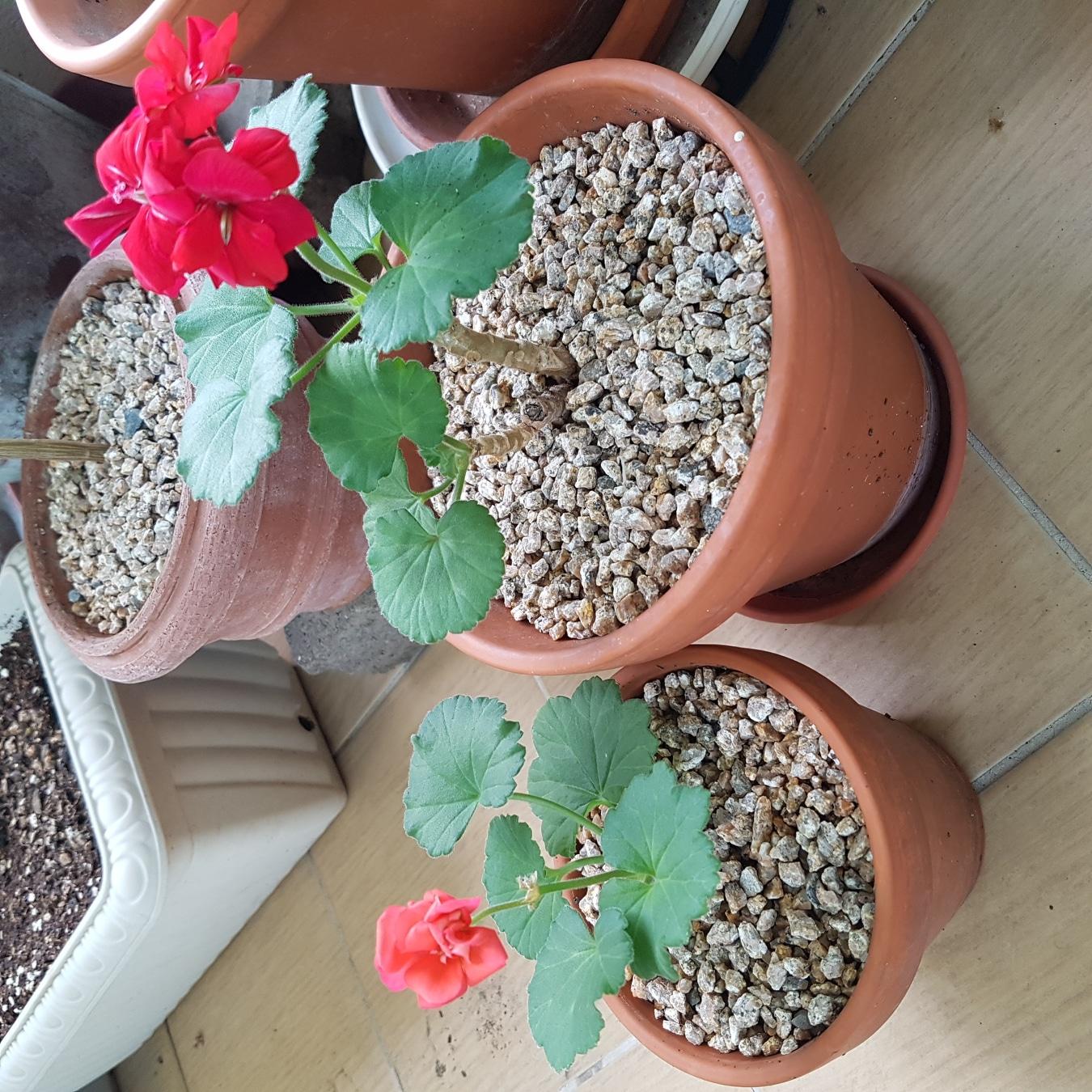 제라늄 식물, 화분