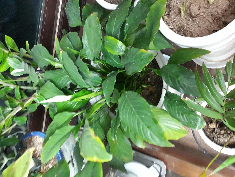 여러가지 꽃이 9가지 하고 테이블야자.화초콩고.셀렘화초.스투기화초. 군자란화초.작은것 화분하나 큰것 화분이 3개