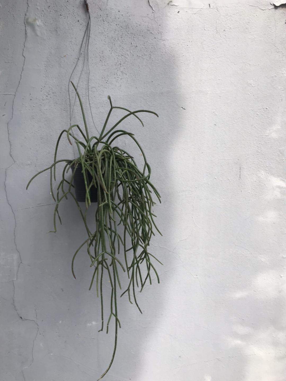 리투사 스파이더 틸란시아 식물 공기정화식물
