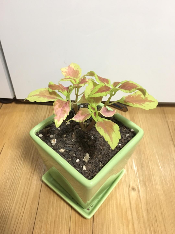 (식물 화분 화초) 희귀식물 콜레우스 앨라배마 선셋 식물
