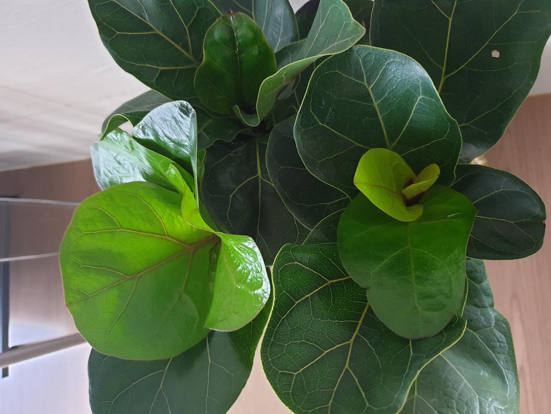 공기정화식물 떡갈나무