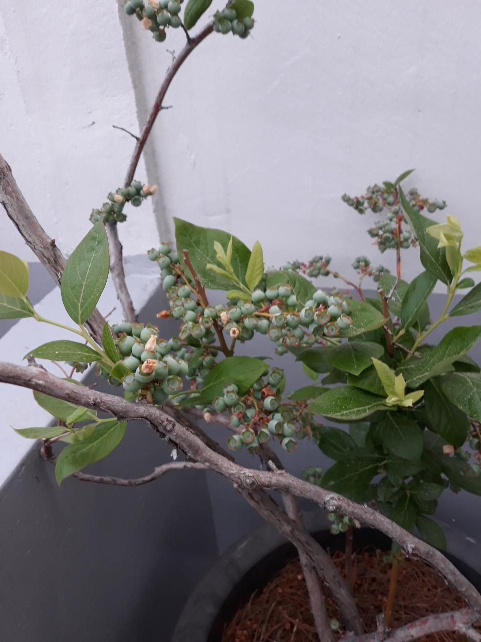 블르베리나무