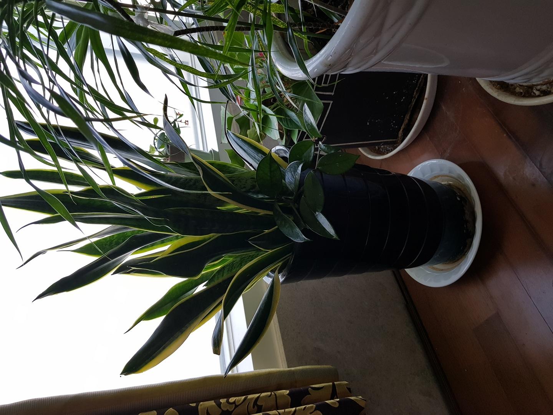 산세베리아 90센티(화분포함) 공기정화  예뻐요 10년키운 화초 화분이 금이 있음