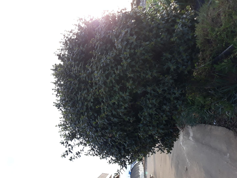 호랑가시나무