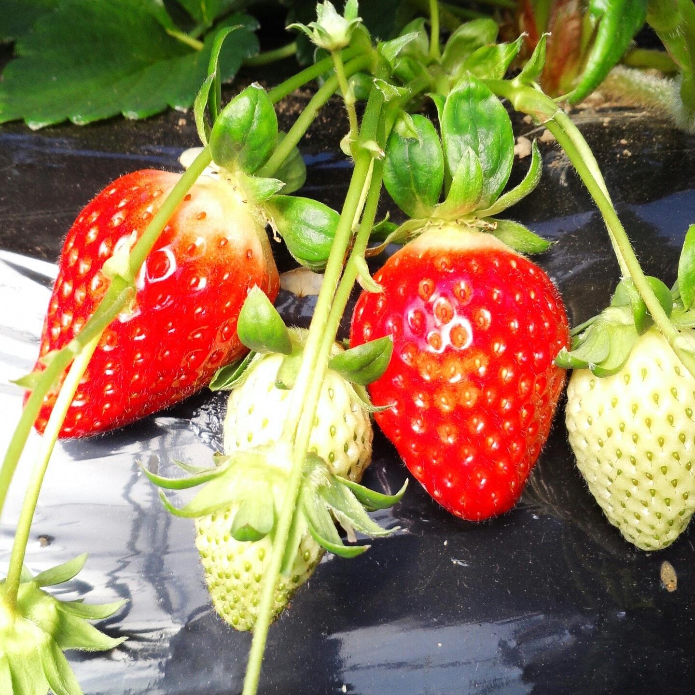 윤기네 유기농 딸기농장